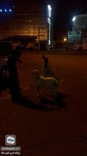 زنده گیری سگهای خیابانی رشت4