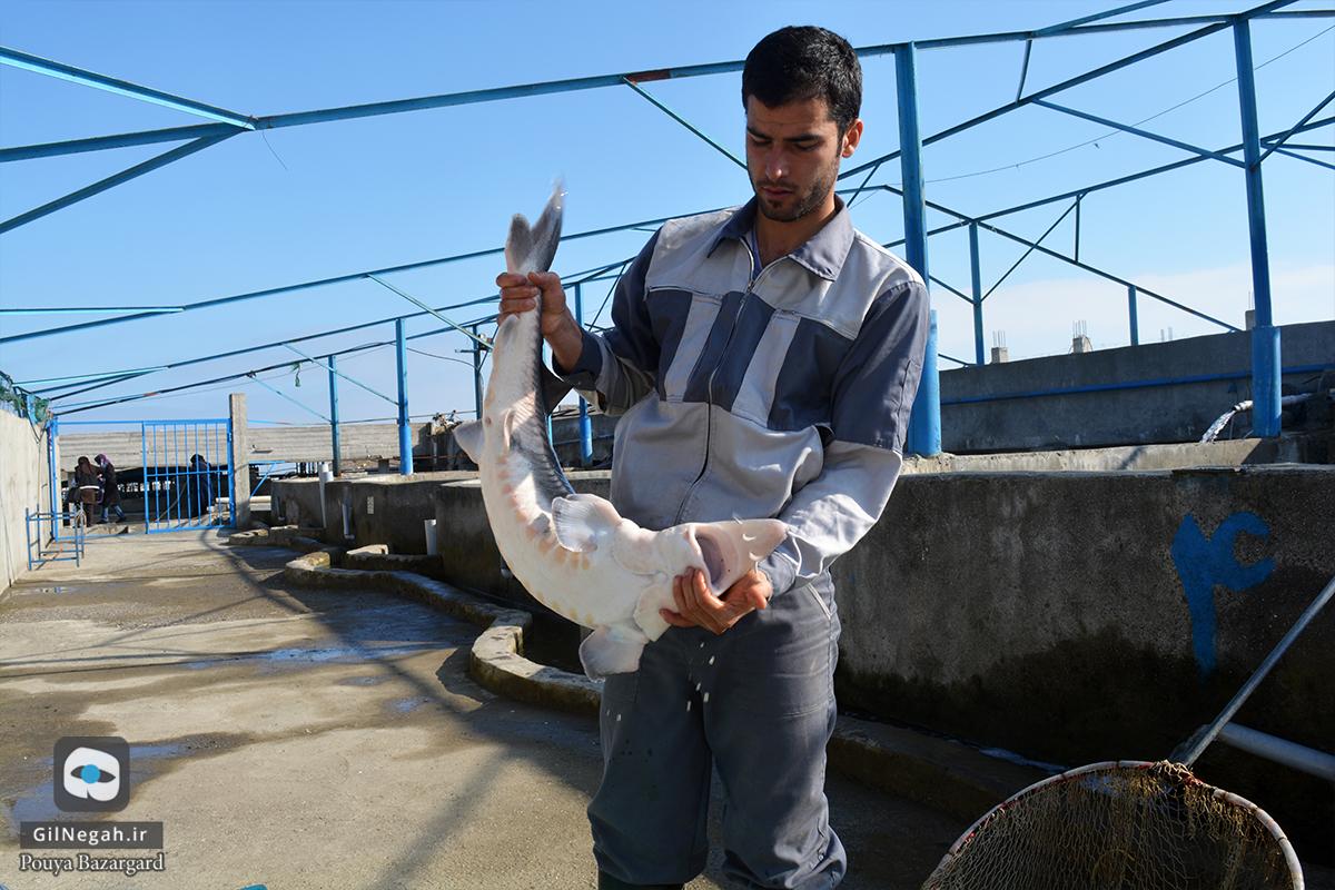 بازدید از مرکز پرورش ماهیان خاویاری تالش (16)