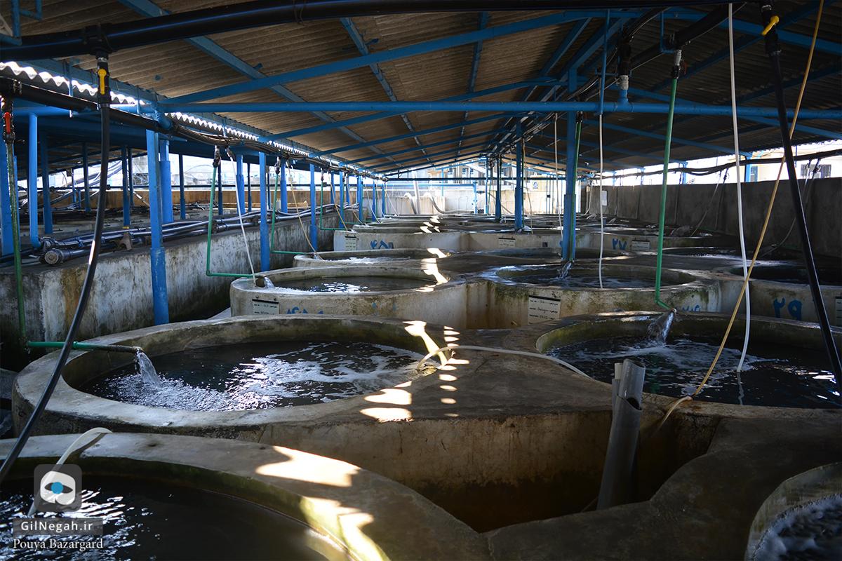 بازدید از مرکز پرورش ماهیان خاویاری تالش (6)